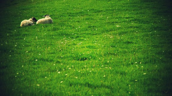 sheep-green-pasture